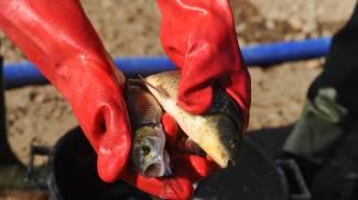 Robecco, naviglio inquinato: pesci costretti a traslocare